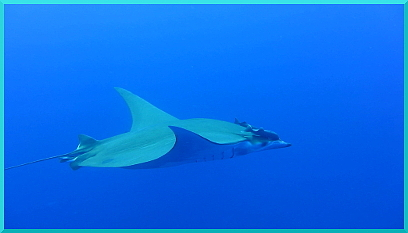 HP Mobulas Dance